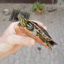 Fundschildkröte konnte vermittelt werden