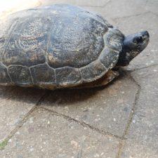 Fundschildkröte konnte in eine große Anlage vermittelt werden