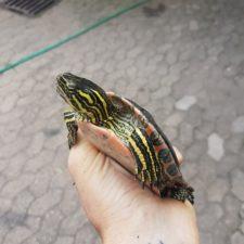 Fundschildkröte konnte in eine Anlage mit Artgenossen vermittelt werden