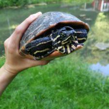 vermittelte Schildkröte in ihrem neuen Reich