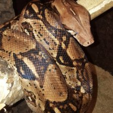 Boa Weibchen durch eine Beschlagnahmung, konnte vermittelt werden in ein großes Terrarium mit Artgenossen