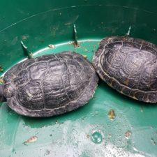 2 Schildkröten auf dem Weg in einen großen Teich