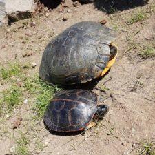 2 Fundschildkröten vermittelt in großen Teich