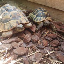 vermittelte griechische Landschildkröten