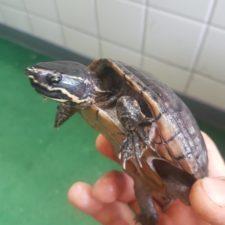 Nameless die vermittelte Moschusschildkröte