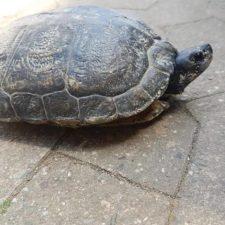 vermittelte Gelbwangenschicldkröte (melanistisch)