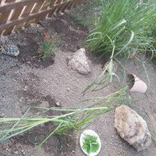 vermittelte griechische Landschildkröten in neuem Reich