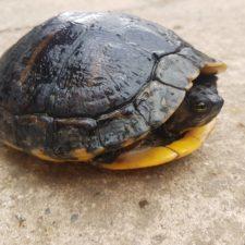 vermittelte Gelbwangenschmuckschildkröte