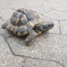 vermittelte griechische Landschildkröte