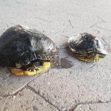vermittelte Wasserschildkröten