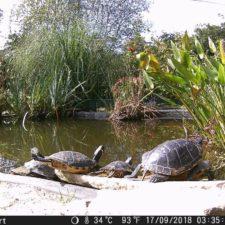 vermittelte Wasserschildkröten in ihrem neuen Reich
